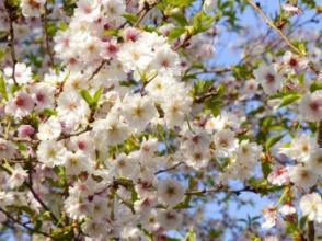 Sakura -  incentivní zájezd OMT group
